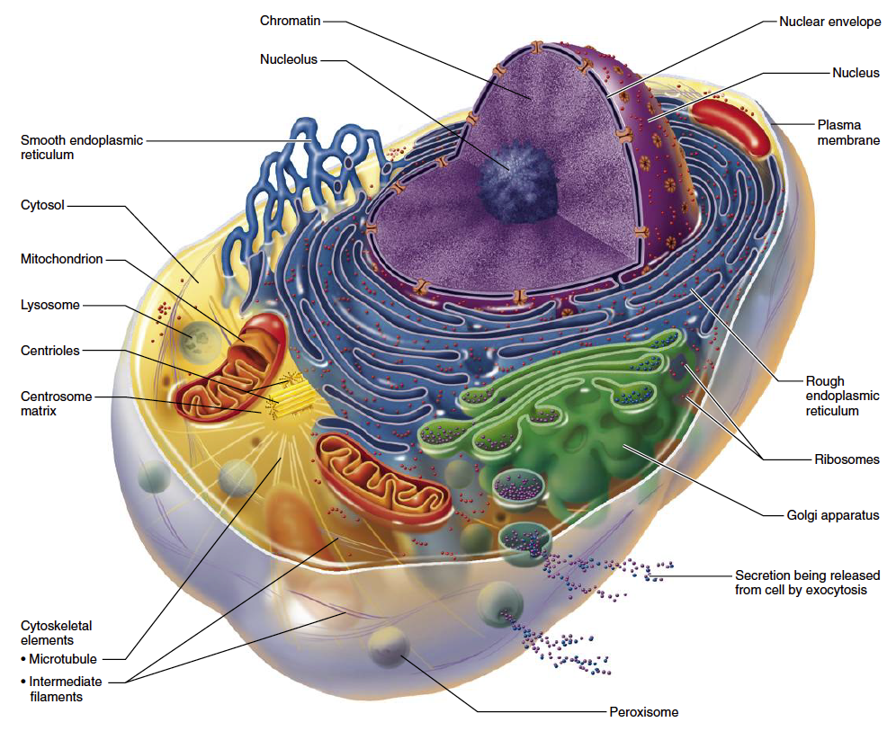 Cell with mitochondria